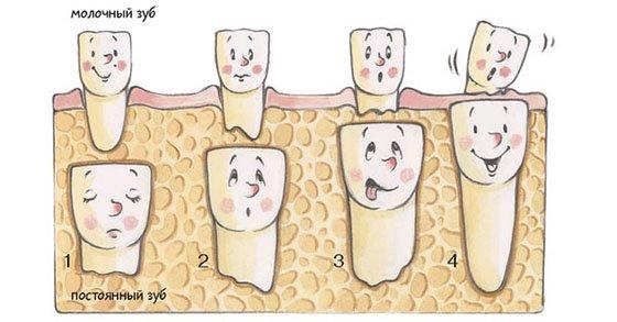 Когда должны меняться молочные зубы у детей